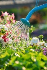 1404746-water-pouring-from-blue-watering-can-onto-blooming-flower-bed